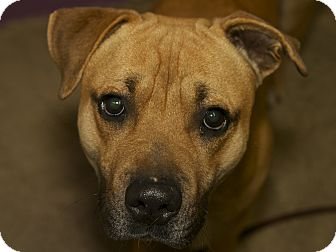 American Pit Bull Terrier Mix Dog for adoption in San Andreas, California - Tanner