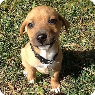 German Shepherd Dog Mix Puppy for adoption in Columbia, Illinois - Anabelle