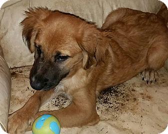 Shepherd (Unknown Type) Mix Dog for adoption in Detroit, Michigan - Giro