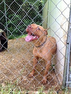American Pit Bull Terrier Mix Dog for adoption in Baxter, Tennessee - Reddington