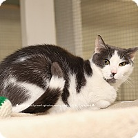 Domestic Shorthair Cat for adoption in Fayetteville, North Carolina - Teddy