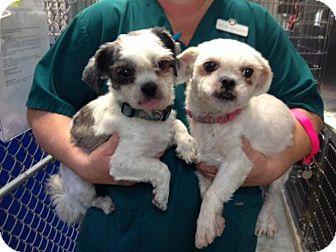 Shih Tzu Mix Dog for adoption in Irmo, South Carolina - Pedro & Polly