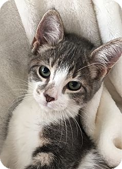 Domestic Shorthair Cat for adoption in South Haven, Michigan - Anastasia