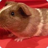 Adopt A Pet :: Chester - Williston, FL
