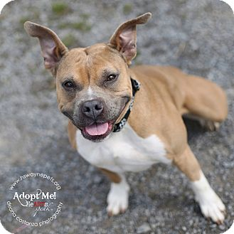 American Pit Bull Terrier/Bulldog Mix Dog for adoption in Lyons, New York - Tiny