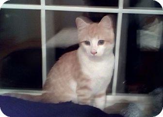 Domestic Shorthair Kitten for adoption in Kirkwood, Delaware - Ozzy