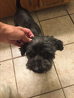 Maltese/Poodle (Miniature) Mix Dog for adoption in El Segundo, California - Bruce