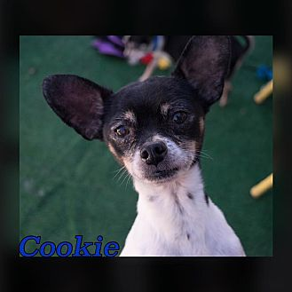 Chihuahua Mix Dog for adoption in Reno, Nevada - Cookie MacKenzie