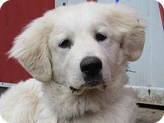Great Pyrenees Puppy for adoption in Kiowa, Oklahoma - Novak