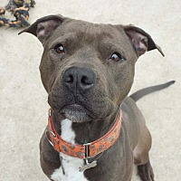 Pit Bull Terrier Mix Dog for adoption in Minneapolis, Minnesota - Dewey
