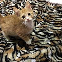 Domestic Shorthair Kitten for adoption in Butner, North Carolina - Ernie