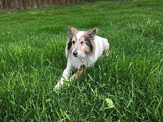 Sheltie, Shetland Sheepdog Dog for adoption in Circle Pines, Minnesota - Tess