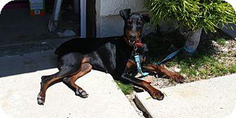 Doberman Pinscher Dog for adoption in Harbor City, California - Rose