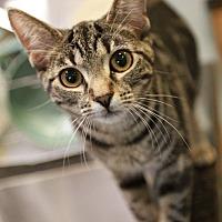Adopt A Pet :: Sissy - Palatine, IL
