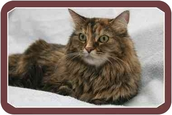 Maine Coon Cat for adoption in Sterling Heights, Michigan - Tabitha - ADOPTED!