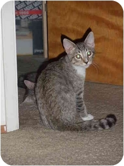 Domestic Mediumhair Kitten for adoption in Davis, California - Marley