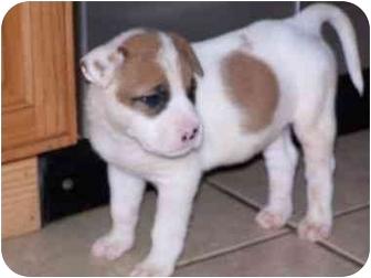 Labrador Retriever/American Bulldog Mix Puppy for adoption in Cuddebackville, New York - Ralpie