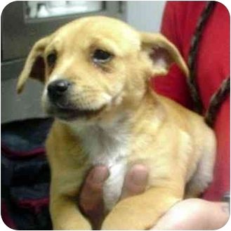 Beagle/Pug Mix Puppy for adoption in Manassas, Virginia - suede