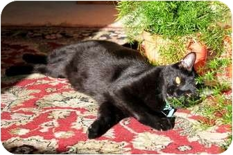 Domestic Shorthair Cat for adoption in Nolensville, Tennessee - Ebony and Tiger