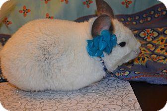 Chinchilla for adoption in Lindenhurst, New York - Boo
