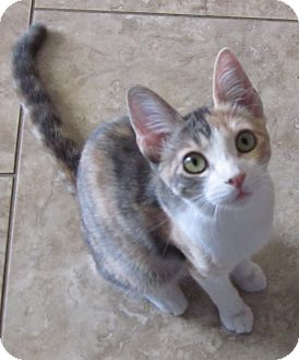 Domestic Shorthair Kitten for adoption in Winchester, California - Tizzy