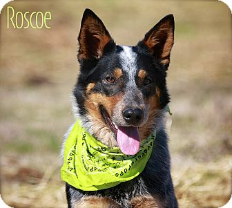 Australian Cattle Dog Dog for adoption in Albany, New York - Roscoe