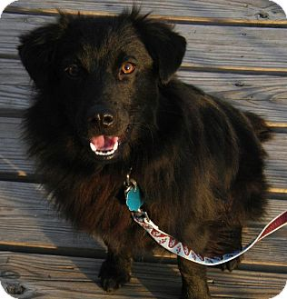 Pomeranian Mix Dog for adoption in College Station, Texas - Brooster