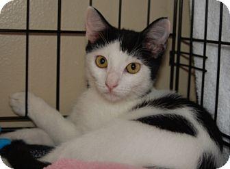 Domestic Shorthair Kitten for adoption in Houston, Texas - Allen