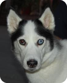 Siberian Husky Mix Dog for adoption in Brooklyn, New York - Sammi