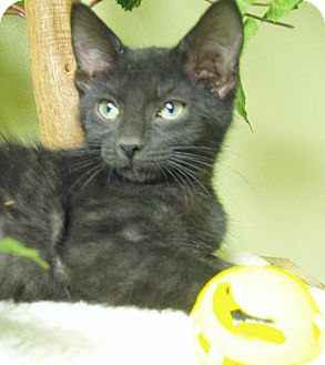 Domestic Shorthair Kitten for adoption in Hastings, Nebraska - Stalone - Baby!