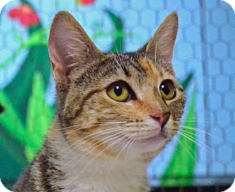 Domestic Shorthair Cat for adoption in Searcy, Arkansas - Luann
