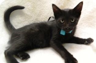 Domestic Shorthair Cat for adoption in Columbus, Nebraska - Binx