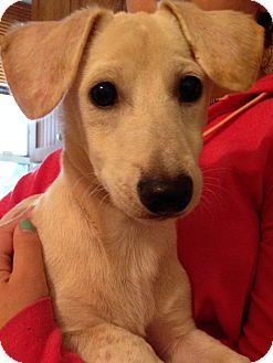 Dachshund/Labrador Retriever Mix Puppy for adoption in Madison, New Jersey - Joyful Jim