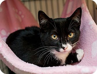Domestic Shorthair Kitten for adoption in Shelton, Washington - Silvy