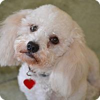 Adopt A Pet :: Minnie..I am a DOLL! - Redondo Beach, CA