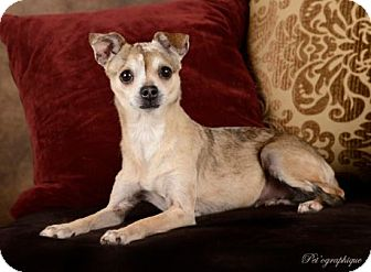 Chihuahua Mix Dog for adoption in Las Vegas, Nevada - Allison