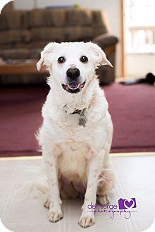 Australian Shepherd/Spaniel (Unknown Type) Mix Dog for adoption in Manhattan, Kansas - Angel- adoption pending
