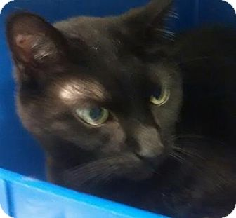 Domestic Shorthair Cat for adoption in Cleveland, Ohio - Matthew #122
