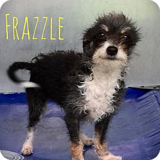 Jack Russell Terrier/Maltese Mix Dog for adoption in Rancho Santa Fe, California - Frazzle
