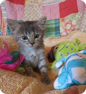 Domestic Mediumhair Kitten for adoption in Geneseo, Illinois - Kenai