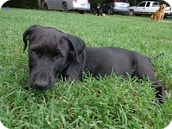 Labrador Retriever/Terrier (Unknown Type, Medium) Mix Puppy for adoption in Warrenton, North Carolina - Eli