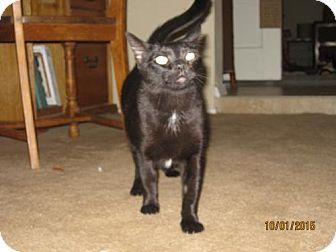 Domestic Shorthair Cat for adoption in Glendale, Arizona - Sabrina
