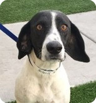Hound (Unknown Type) Mix Dog for adoption in Las Vegas, Nevada - Hannah
