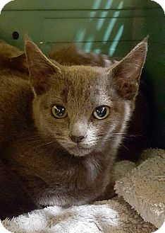 Russian Blue Kitten for adoption in Arcadia, California - Berry