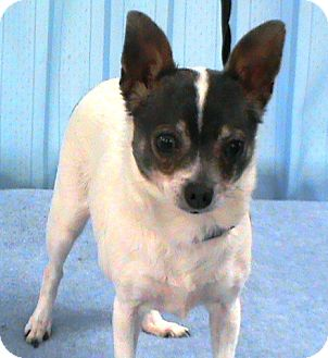 Chihuahua Dog for adoption in Maynardville, Tennessee - Lexi