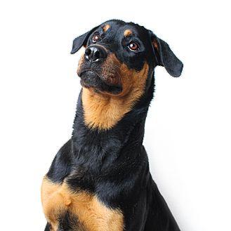 Rottweiler Mix Dog for adoption in Wilmington, Delaware - Harper