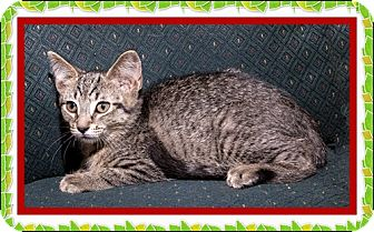 Domestic Shorthair Kitten for adoption in Mt. Prospect, Illinois - Cabo