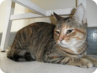 Domestic Shorthair Cat for adoption in Milwaukee, Wisconsin - Sparrow