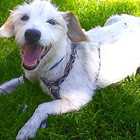 Jack Russell Terrier/Parson Russell Terrier Mix Dog for adoption in San Francisco, California - Vincent Marley