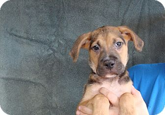German Shepherd Dog/Boxer Mix Puppy for adoption in Oviedo, Florida - Mikey